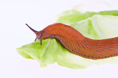 Slug on lettuce leaf Stock Image