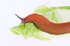 Slug on lettuce leaf Stock Image