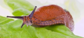 Slug on lettuce leaf Royalty Free Stock Image