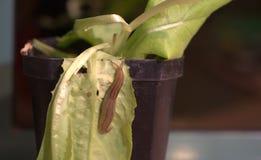 Slug. On a lettuce leaf stock image