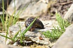 Slug. Limax maximus - slug crawling on the stone. Stock Photography