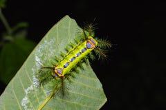 Slug moth caterpillar Royalty Free Stock Photo