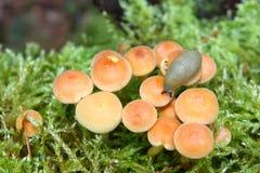 Slug no cogumelo do topete das coníferas Imagem de Stock Royalty Free