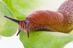 Free Slug On Lettuce Leaf Royalty Free Stock Image - 15422426