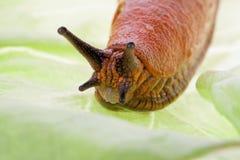Free Slug On Lettuce Leaf Stock Photo - 15724370