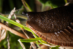 Slug Royalty Free Stock Photos