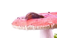 Slug on Russula Royalty Free Stock Images