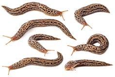 Slug. Set of spotted slugs isolated on white background Stock Photography