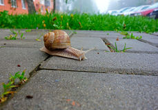 A slug. With a shell is crawling in front of a house royalty free stock photo