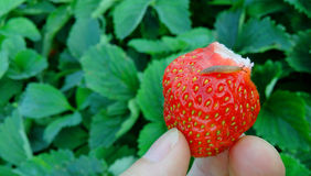 Slug Strawberry Stock Photo