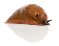 Slug vermelho, rufus do Arion Imagem de Stock Royalty Free