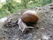 Slug. Walking slowly on the path near Royalty Free Stock Photos
