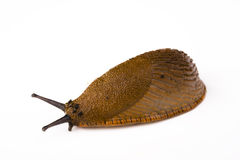Slug on white background. A slug on white background Stock Photos