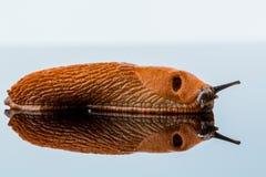 Slug on a white background Royalty Free Stock Photos