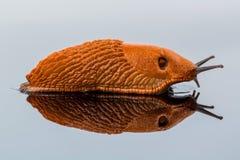 Slug on a white background Royalty Free Stock Image