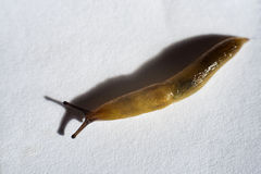 Slug on white paper Royalty Free Stock Photography