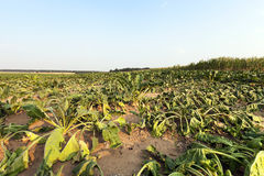 Sluggish sugar beet. The agricultural field, which is growing by the drought dried sugar beet, summer, small depth of field stock image