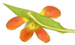 Sluggish Tulip Royalty Free Stock Image