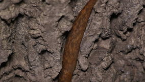 Slugs Crawl on Wood stock video