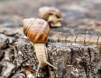 Slugs on a dead tree trunk. Closeup of two slugs on a dead tree trunk, where one is leaving and the other is surprised as to why Royalty Free Stock Photos