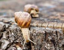 Slugs on a dead tree trunk Royalty Free Stock Photos
