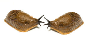 Slugs in love Royalty Free Stock Images