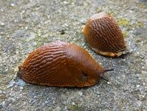 Slugs Snail Without Shell. Land slug, shell-less animals on concrete pathwalk Royalty Free Stock Photo