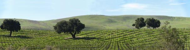 Sluimerende wijnstokken in de lentepanorama Royalty-vrije Stock Foto's