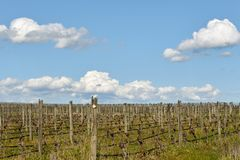 Sluimerende wijnstokken in de de lentezon stock fotografie
