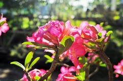 Sluit Adenium-omhoog bloemen in aard royalty-vrije stock afbeelding