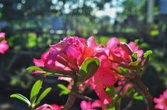 Sluit Adenium-omhoog bloemen in aard stock foto's