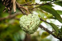 Sluit Annona-omhoog squamosa of vlaappel fruite op de boom Royalty-vrije Stock Afbeelding
