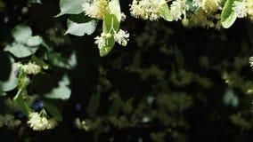 Sluit Bijen verzamelen omhoog nectar op bloemen van een linde Bloemen van lindeboom stock footage