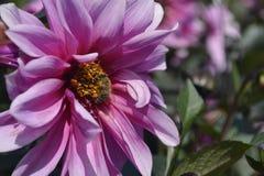 Sluit bloem omhoog roze viooltje stock afbeeldingen