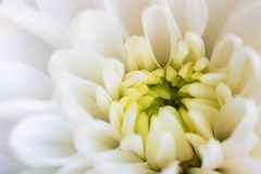 Sluit chrysanten omhoog witte Bloem met geel centrum en vage bloemblaadjes op randen horizontaal Vers mooi kroonmadeliefje zoals stock afbeelding