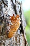Sluit cicade omhoog shell wat op de boom weggaan. Stock Afbeeldingen