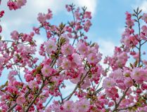 Sluit de lente omhoog heldere mooie roze Japanse bloemen, op de achtergrond is blauwe hemel en witte wolken royalty-vrije stock afbeelding