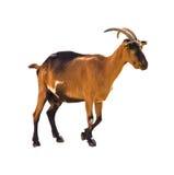 Sluit de omhoog geïsoleerde geit van de capra femail wilde berg stock afbeelding