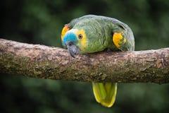 Sluit de omhoog op blauw-uitgezien papegaai van Amazonië stock fotografie