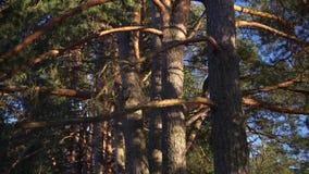 Sluit de pijnboom boscamera die, zonsondergang die, omhoog geschoten glanzen zich vooruit bewegen stock videobeelden
