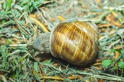 Sluit de tuin gemeenschappelijke slak in shell die over het groene gras na de regen kruipen, omhoog selectieve nadruk royalty-vrije stock afbeeldingen