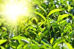 Sluit fesh omhoog groene theebladen met ochtendgloed Royalty-vrije Stock Afbeelding
