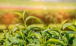 Sluit fesh omhoog groene theebladen met ochtendgloed Royalty-vrije Stock Fotografie