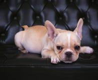 Sluit gezicht dat van het Franse puppy van de stierenhond op leerbank omhoog ligt Stock Afbeeldingen