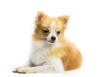 Sluit gezicht die van pomeranian puppyhond op witte achtergrond omhoog liggen Royalty-vrije Stock Fotografie