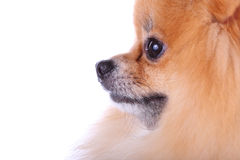 Sluit gezichts omhoog pomeranian hond stock foto
