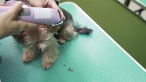 Sluit groomer omhoog in orde makend haar op hondoor met snoeischaar Yorkshire Terrier in huisdier het verzorgen salon stock videobeelden