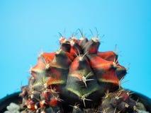 Sluit gymnocalycuim omhoog cactus stock foto