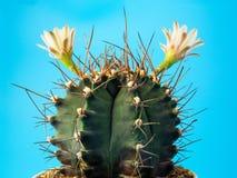 Sluit gymnocalycuim omhoog cactus stock afbeelding