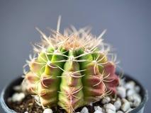Sluit gymnocalycuim omhoog cactus royalty-vrije stock afbeeldingen
